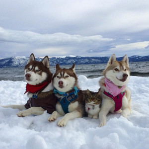 1-chat-huskies