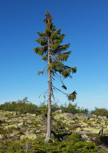 1-old-tjikko-arbre