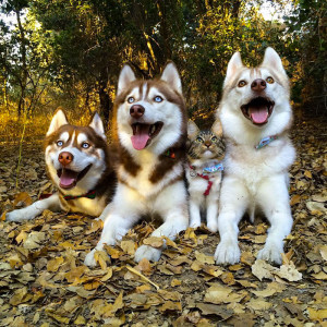 10-chat-huskies