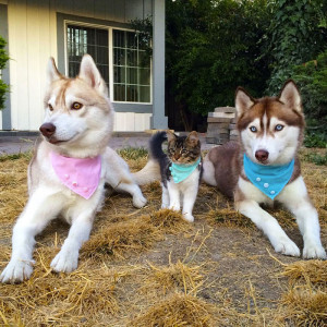 14-chat-huskies