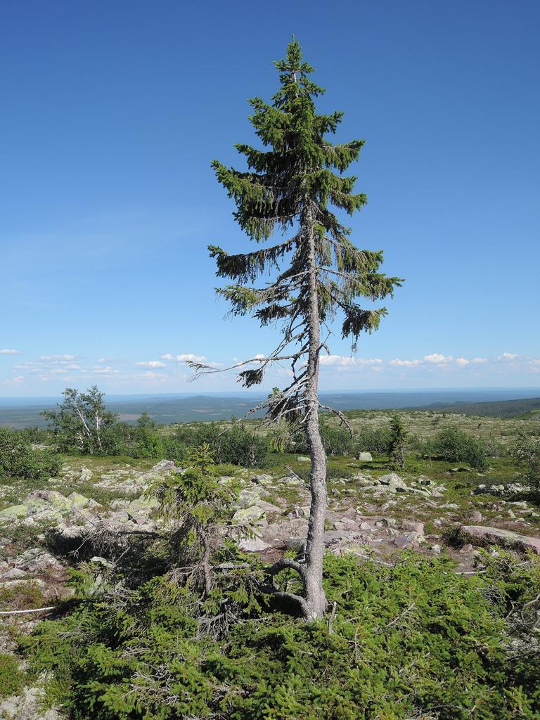 2-old-tjikko-arbre
