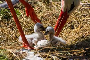 24-oiseaux-bebes