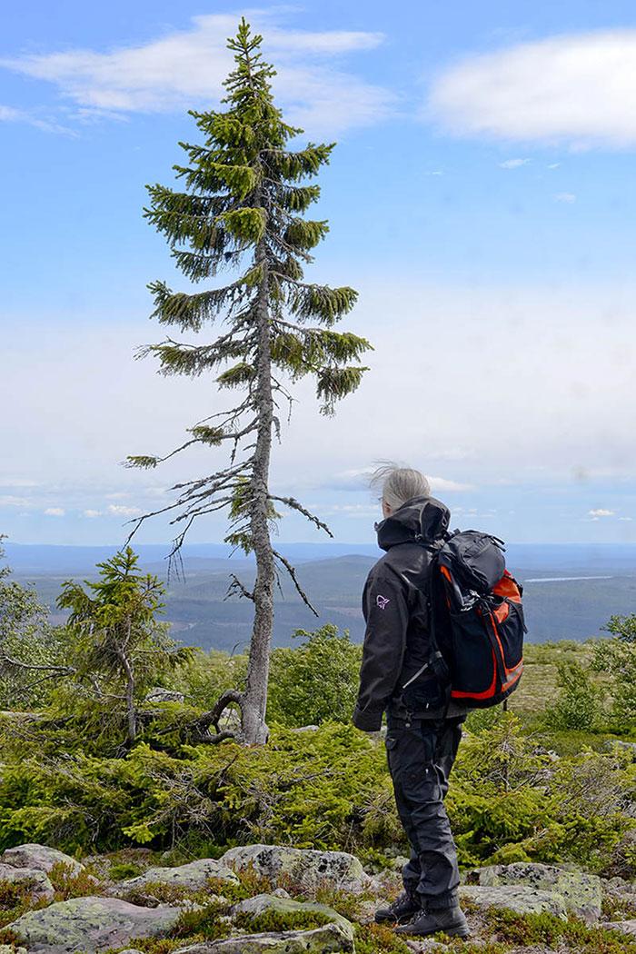 3-old-tjikko-arbre