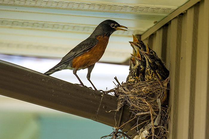34-oiseaux-bebes