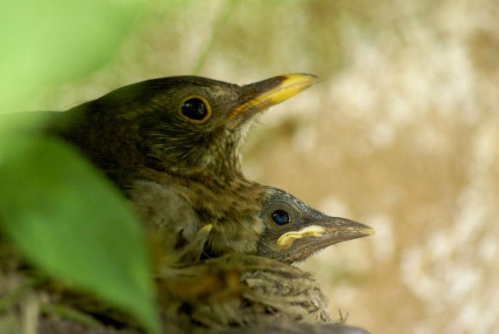 36-oiseaux-bebes