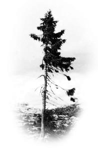 6-old-tjikko-arbre