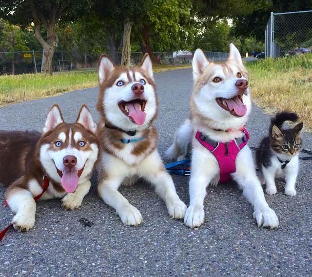 7-chat-huskies