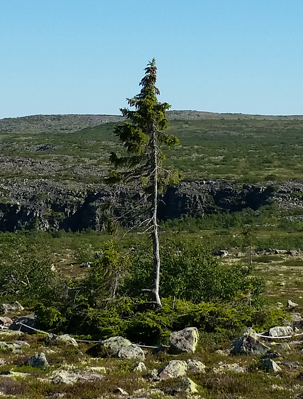 7-old-tjikko-arbre
