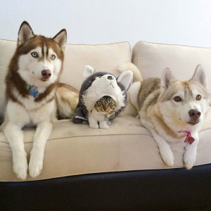 8-chat-huskies
