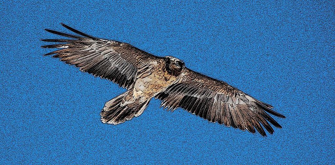 Bearded_Vulture_gypaete-barbu_3