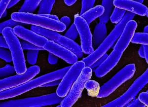 E.-coli-bacterie
