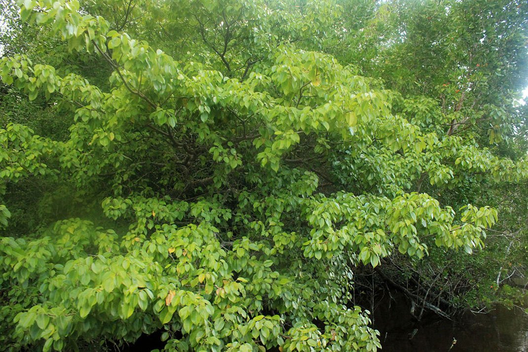Gfp-manchineel-tree-5