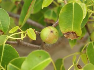 Hippomane_mancenilla_fruit-1