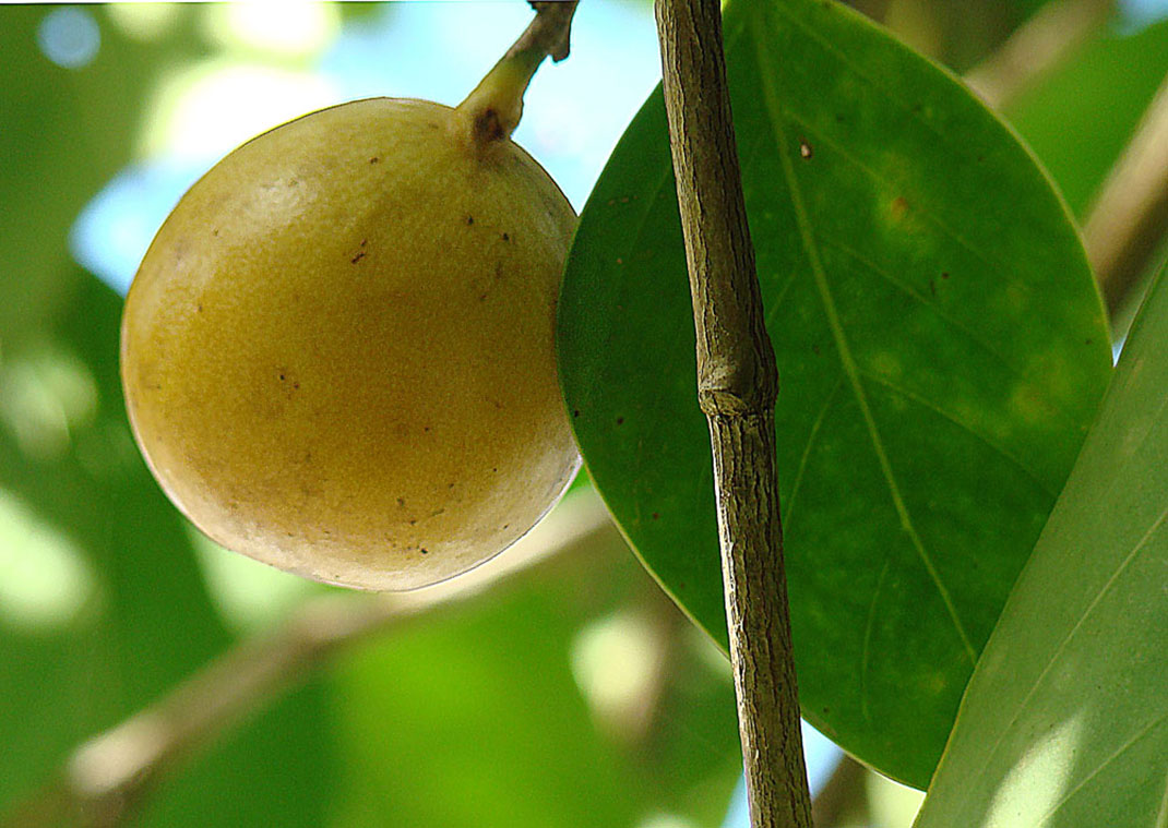 Hippomane_mancinella-fruit-toxique-4