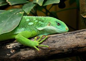 Iguane-arbre-branche-11