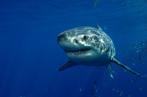 Requin-blanc-shutterstock