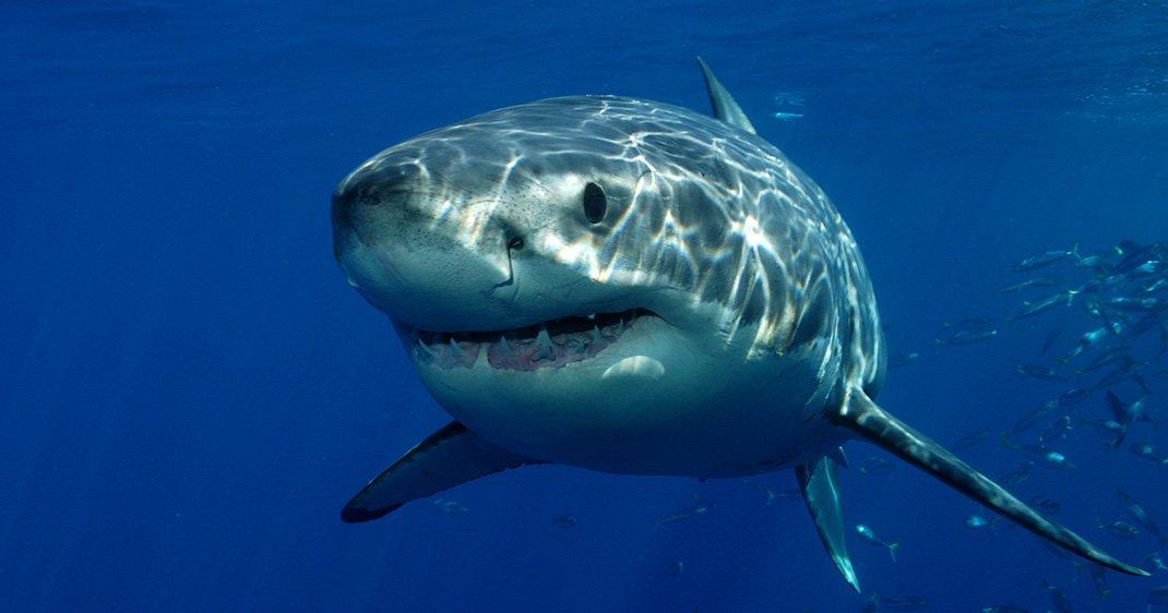 Les requins blancs en captivit meurent en quelques - Dessiner un requin blanc ...