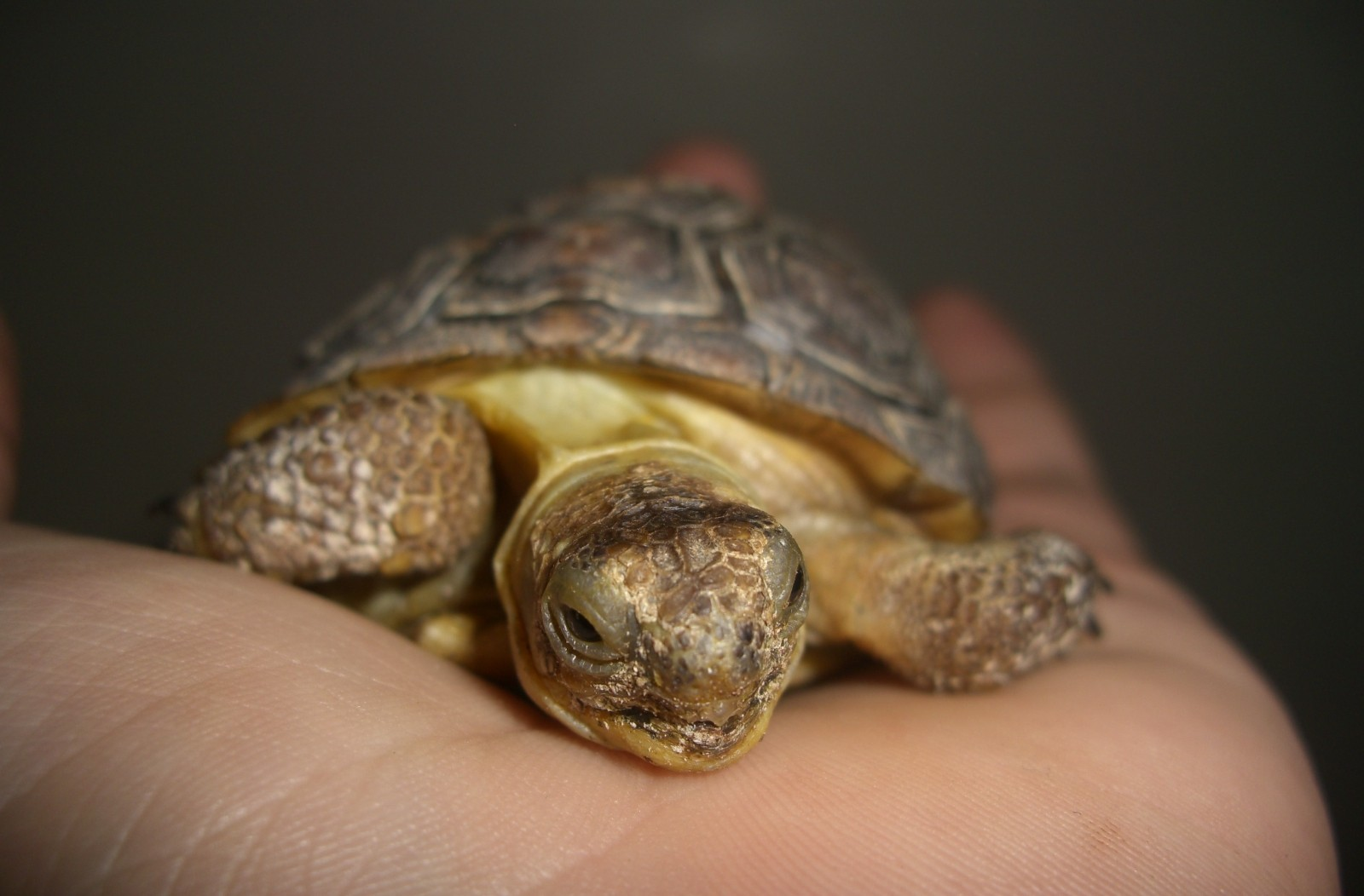 Young_desert_tortoise