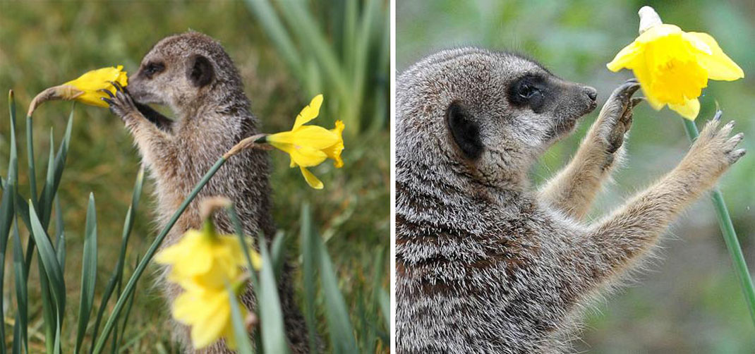 animals-smelling-flowers31