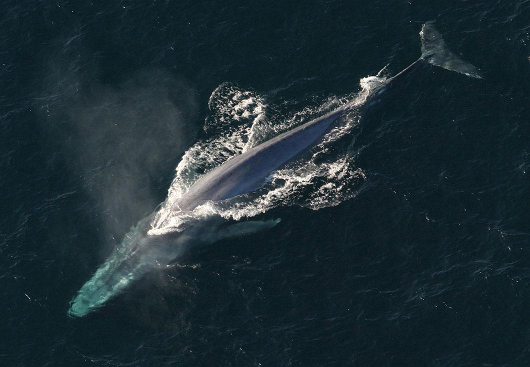 baleine-bleue
