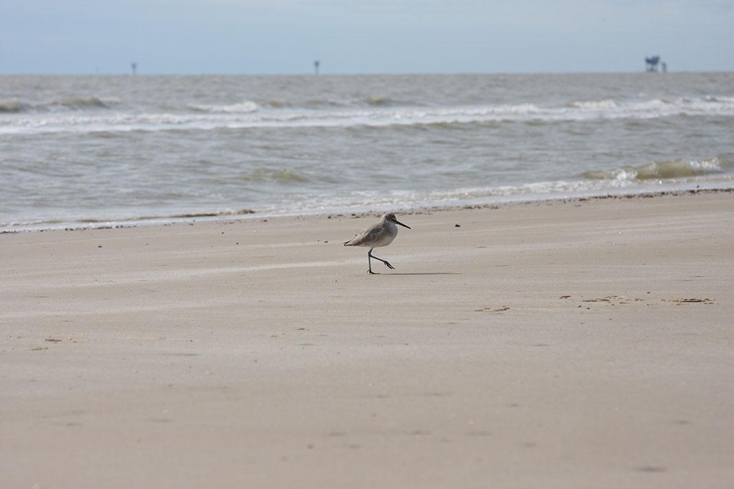 becasseau-oiseau