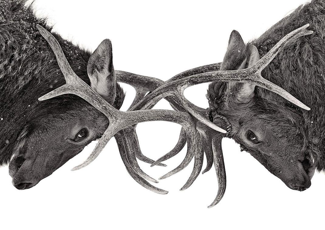 caribous-yeux