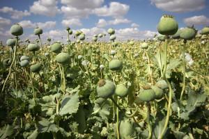 champ-opium