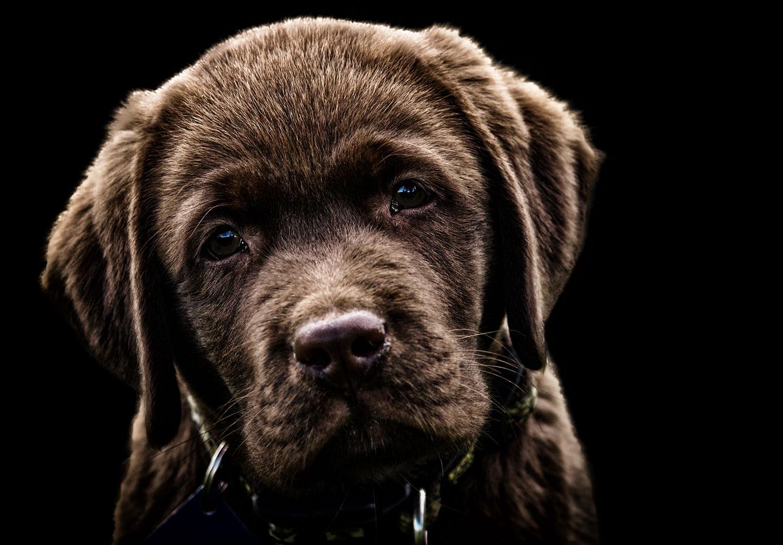Un labrador via Shutterstock