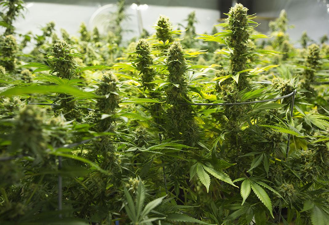 feuilles-cannabis