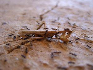 fourmis-chasse