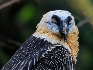 gypaete-barbu_Bearded_vulture-9