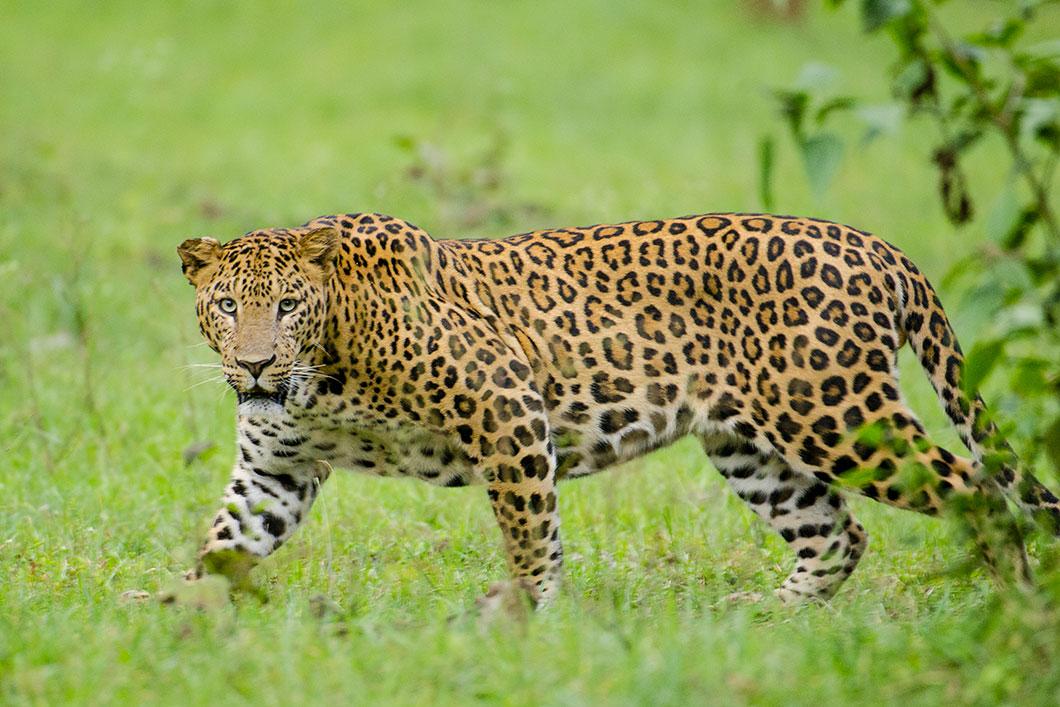 leopard-photo