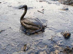 oiseau-petrole