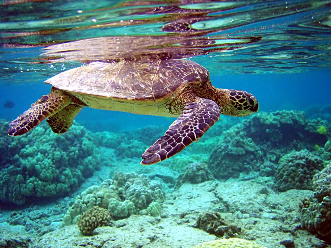 tortue-marine