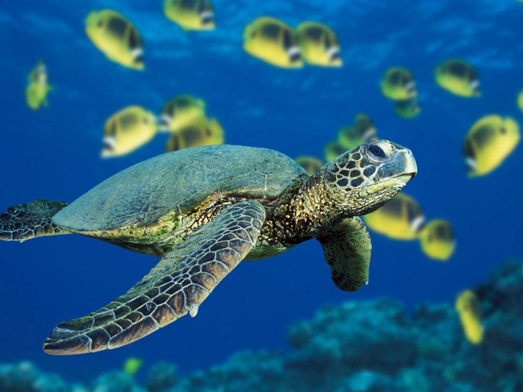 tortue-verte-poissons