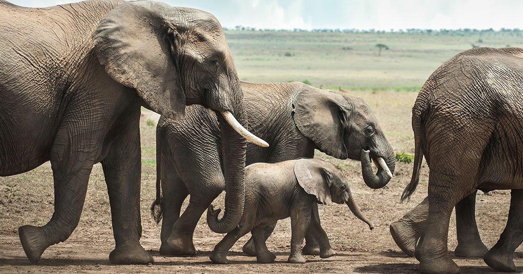 une-elephants-ivoire