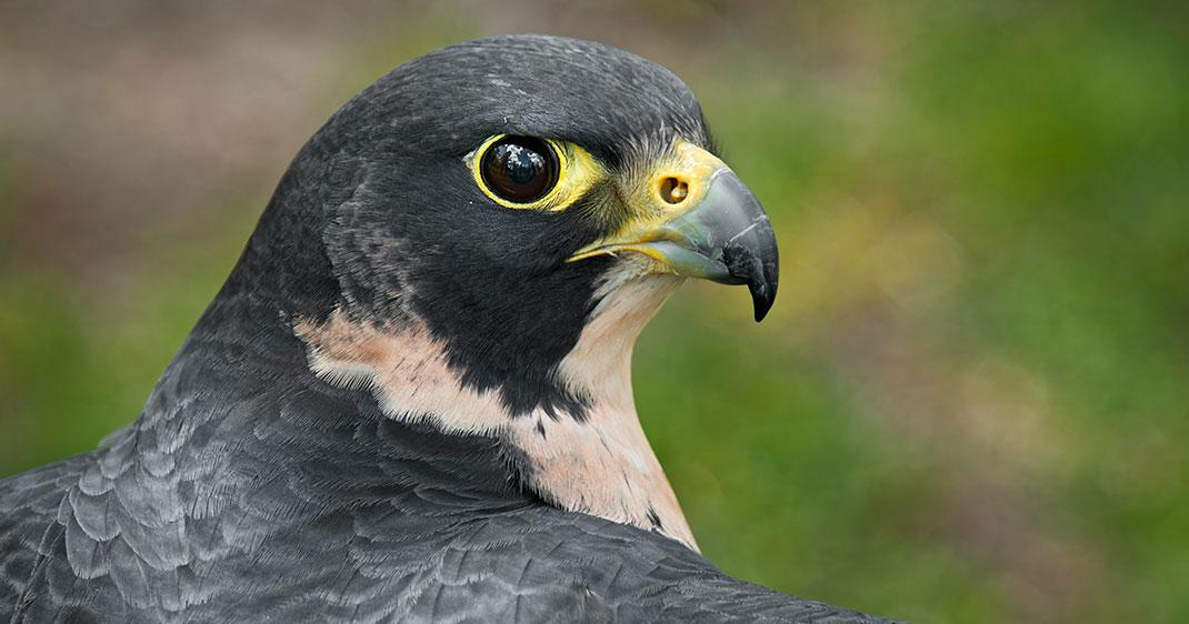 une-faucon-pelerin