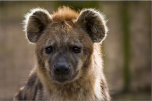 visu-hyene-