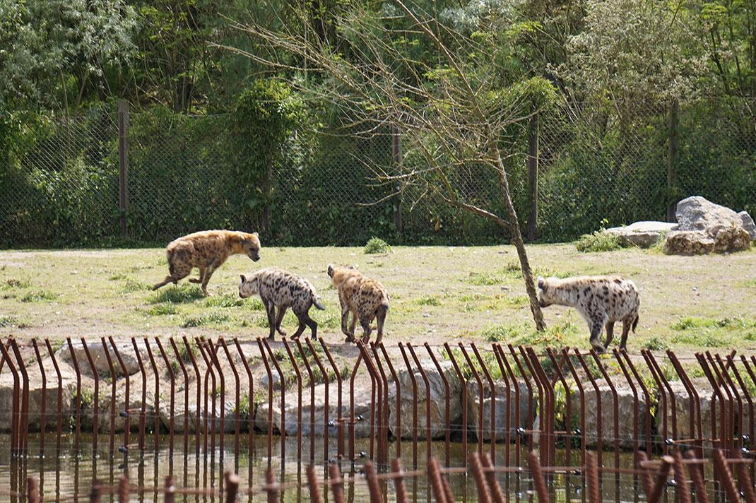 visu-hyene-groupe