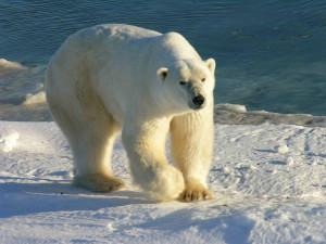 visu-ours-polaire