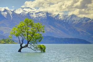wanaka-arbre