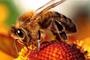 11-abeille-fleur