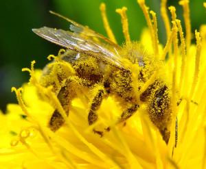 12-abeille-pollinisation