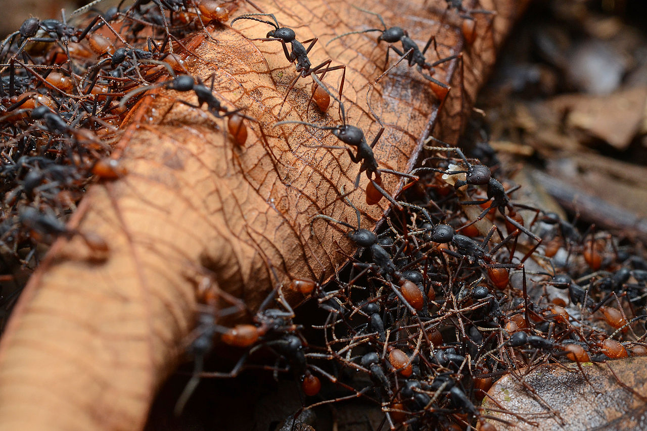 1280px-Army_ants