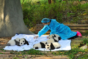 soigneur-pandas