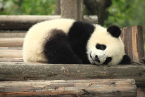 bébé-panda