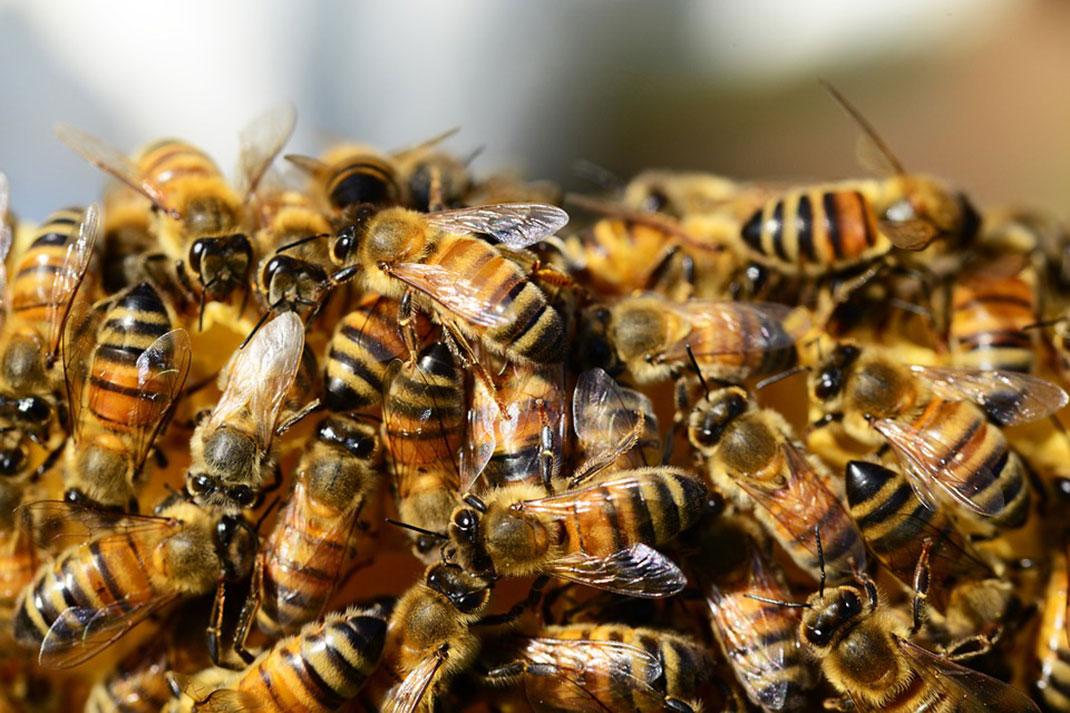 3-abeilles-colonie