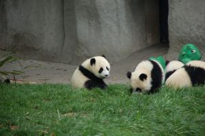 bébés-pandas