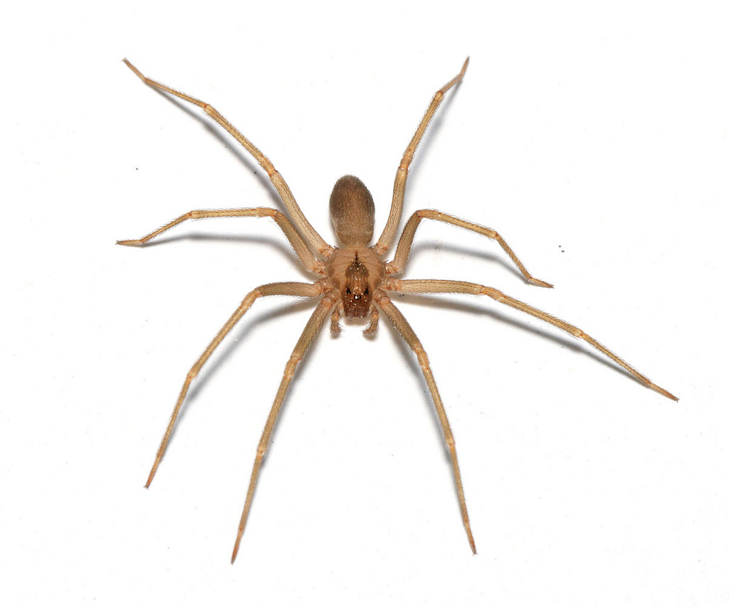 Araignée-spider-Loxosceles