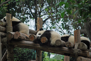 bébés-pandas-2